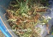 农村遍地都是宝,1种普通野菜就能治咽炎,农村姑娘半个小时挖1桶