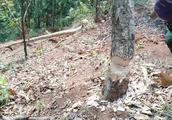 种了四年的树,为何要砍掉当柴火烧?听听他怎么说。。。。。。。