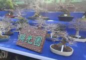 日本盆栽,半数都给中国人买走了,你又怎么看?