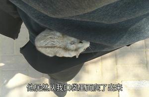 仓鼠悄悄的爬出主人口袋想逃跑,却被主人抓回去,样子萌萌的