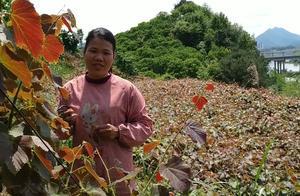 农村英姐这样管理葡萄树科学吗?听她说这才是核心。