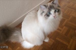 布偶猫小可爱你在看啥呢?我就看看,有没有别的喵侵犯我的领地!
