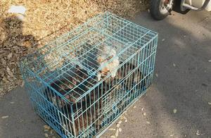笼子里的两条法国斗牛犬突然间打了起来,这么小的狗狗也会打架了