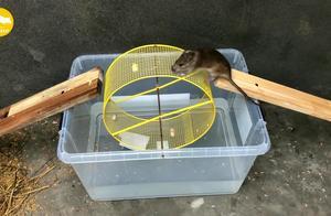太缺德了!陷阱里还倒满水,进去的老鼠真可怜!