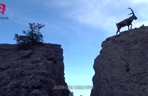 实拍6只羚羊排队飞渡悬崖,本以为小羚羊难跨过,没想到它是高手