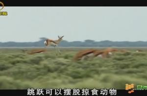 大雨吸引来了跳羚,这种羚羊可以跳到两米高,跳跃可以摆脱掠食者