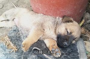 突然就困了,怎么叫都不肯醒,叔公家的小土狗真逗!