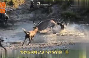 落单的羚羊遇上鬣狗群,刚被掏肛就发疯反击,太强悍了