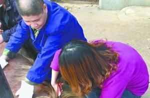 饲养员为给矮马剪齐刘海 提前给同事理发练手艺