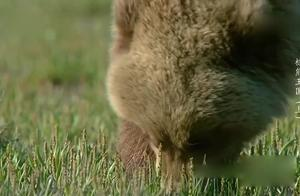 《人与自然》母熊带着宝宝需要大量食物,但是这个季节只能吃草