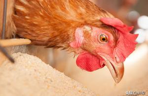 蛋鸡怎样才能提高产蛋效益