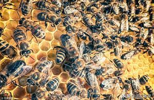 蜜蜂颜色发生变化,是正常还是不正常?