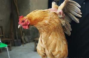 吃货朋友伤不起,教你一分钟辨别市场上假冒伪劣的土鸡,真实用!