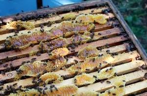 中蜂脾距!季节环境!蜜蜂群势!三者之间的关系你都掌握好了吗?