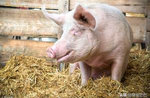 食盐中毒的危害远比你想象的可怕,中招的猪甚至可能痉挛死亡