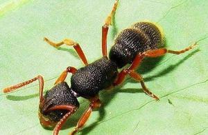 一只宠物蚂蚁上千块你能相信吗?关于宠物蚂蚁的那些事儿