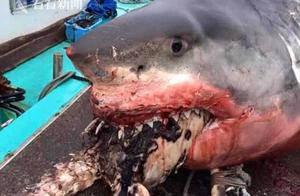 大白鲨吃海龟被卡在嘴里活活噎死 满嘴是血海龟半个身子还在外面