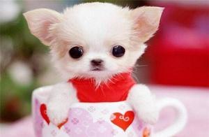 茶杯犬有多少品种,为什么不好养?