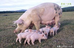 炎热的夏季,什么原因导致母猪不发情?如何解决?