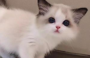 有人说王思聪的布偶猫价值20万,确实很好看!