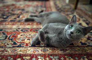 物种百科:俄罗斯蓝猫