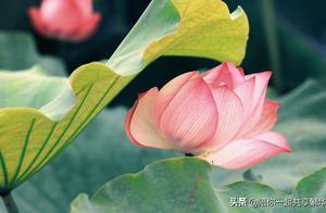 心如莲花,念如菩提。