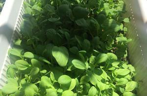 阳台种这4种菜,1个月就爆盆,轻松吃到新鲜菜!
