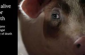 被复活的死亡猪脑:Nature报道引发热议,脑死亡还是生命的终结么