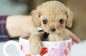 你知道茶杯犬的痛苦吗?看完后,宠主:我再也不养了!