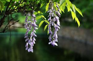 紫滕萝瀑布好句赏析 紫藤萝瀑布菲律宾亚博公司地址赏析