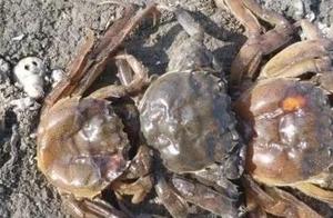 速看!近期河蟹出现大量伤亡,原因分析及建议全在这里
