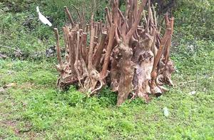 南宁上林一大山树根被盗挖,村民盼早日抓获不法分子
