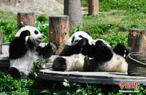 """揭圈养大熊猫繁殖野化:从""""两情相悦""""到回归自然"""