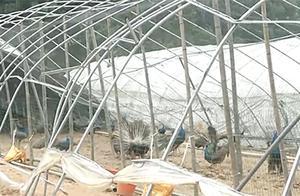 暴风雨致养殖大棚受损,6000多只观赏孔雀外逃,损失超过千万!