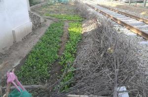 济南:王官庄铁路两侧违规菜地被清 污水灌溉谁敢吃?