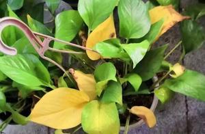 """家里花卉""""稀疏、黄叶"""",浇水加上""""2种肥"""",蹭蹭长爆盆!"""
