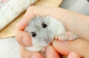 仓鼠变脸太快,从高兴到生气,这只仓鼠只用了两秒