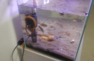 好震撼!大鱼吃小鱼 全过程