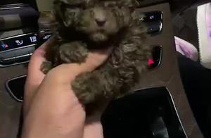 极品小型茶杯犬