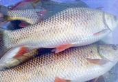 白鲮鱼怎么打窝 多种好吃