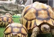 安哥洛卡陆龟的幼龟存活率