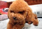 这些狗狗美容失败的爆笑照,每一张都让网友笑到抽筋!