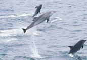 120年来 巴西渔民与海豚协作捕鱼