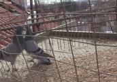 小伙做的鸽子陷阱抓到两只鸽子,会玩