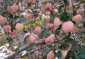 我家的苹果丰收了