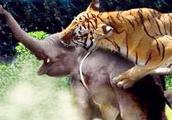 五只老虎能干掉一头非洲大象吗?10只狮子+5只老虎都不是大象对手