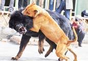 藏獒大战比特犬,网传藏獒战斗力渣,但这次它却证明了自己!