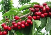 樱桃新品种介绍,你最看好哪一个?