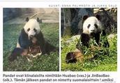 大熊猫金宝宝和华豹将于18日到达赫尔辛基