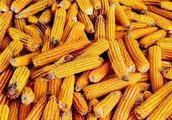 2018-2019年玉米价格预测:价格会上涨吗?多少钱一斤?